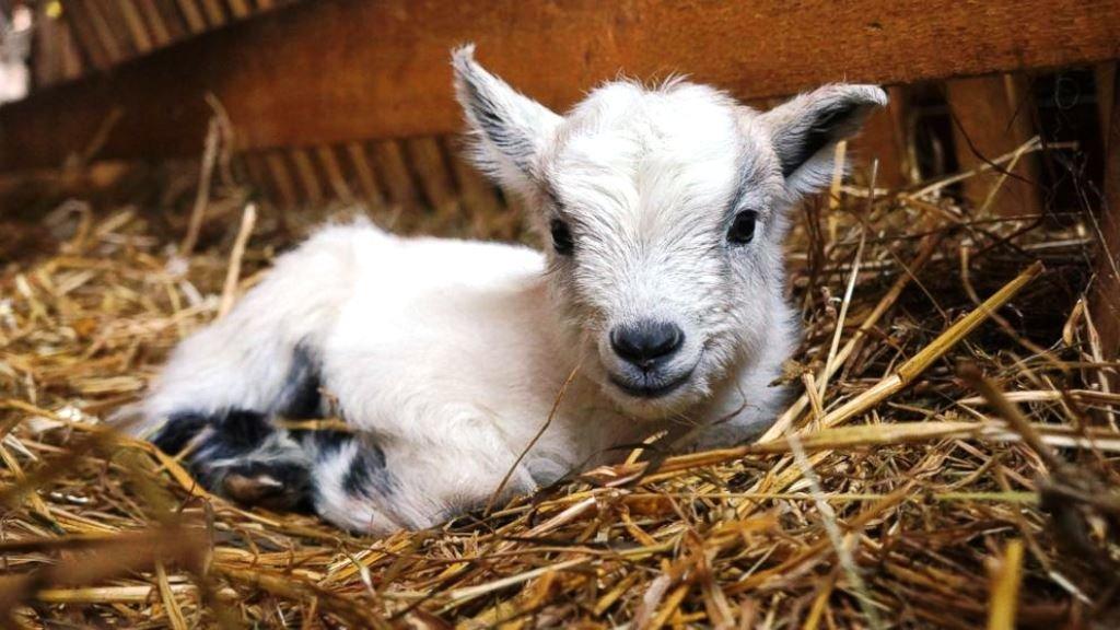 New born baby goat