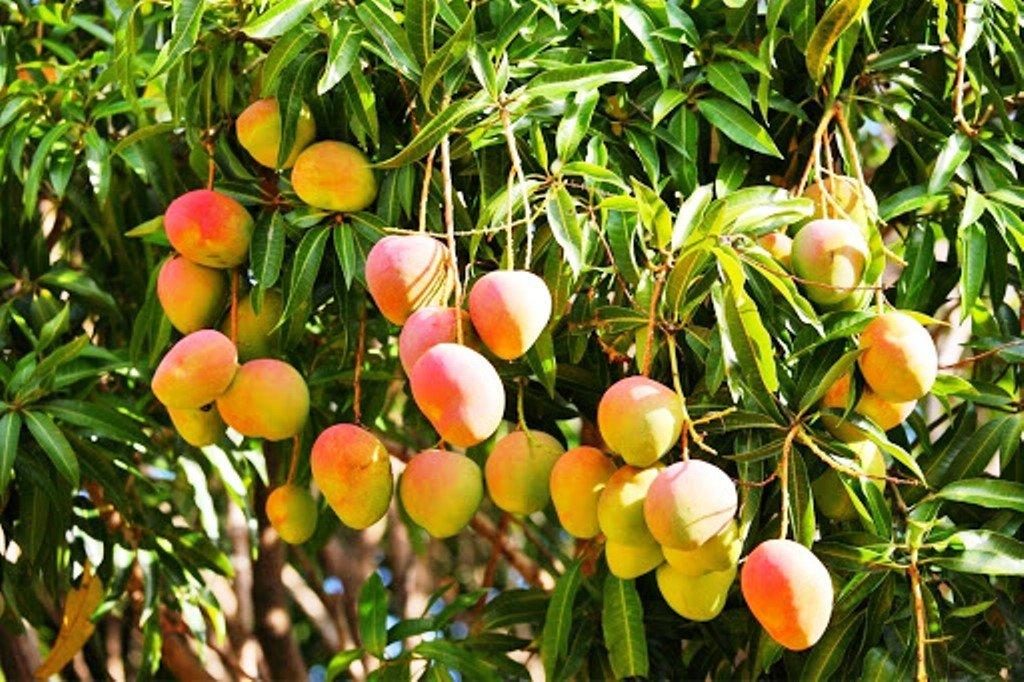 Beautiful Mango Tree