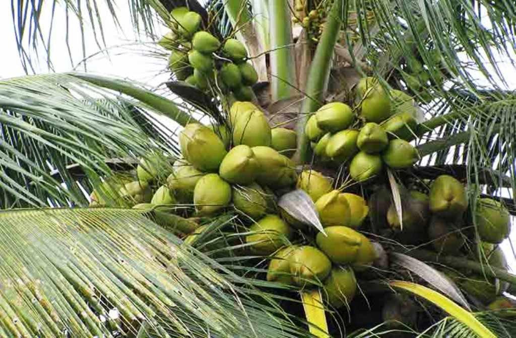 coconut rhinoceros beetle trap