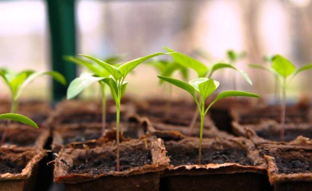 Toor Dhal Seedlings