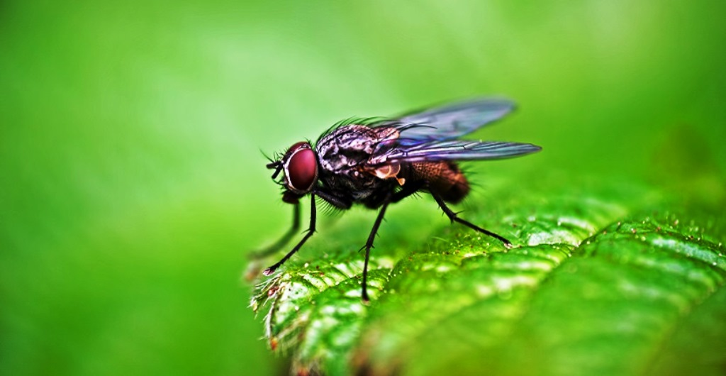 Control Fruit Flies & Fungus Gnats