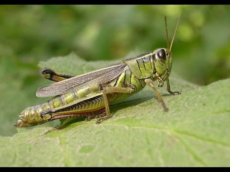 Intensity of locust eradication activities in an area of 4 lakh hectares