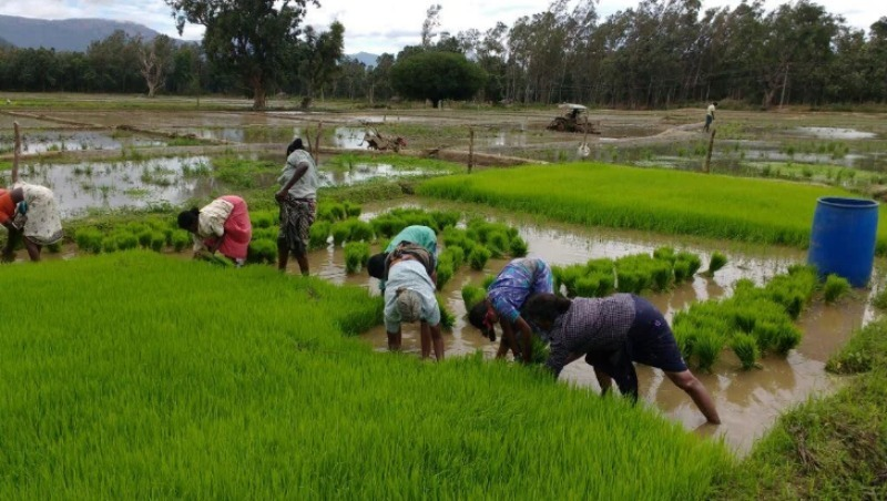kharif crops cultivation is high this year