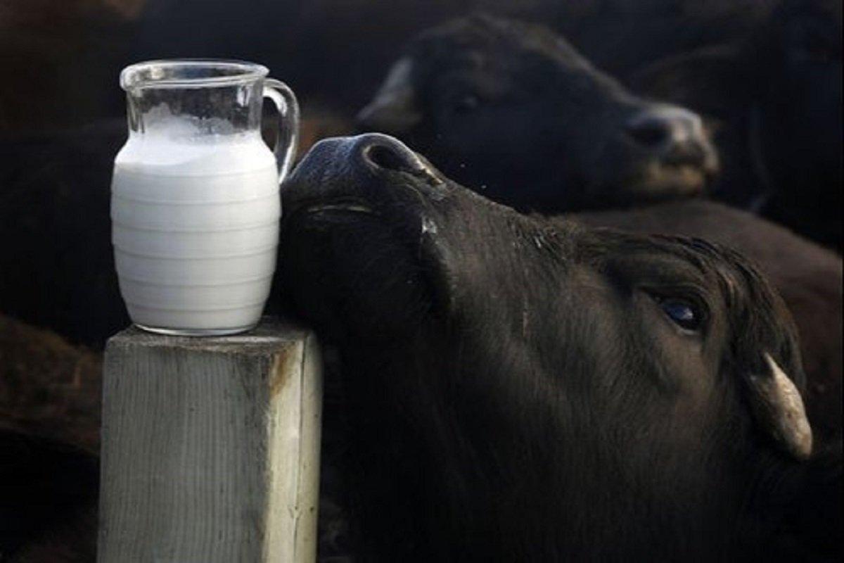 Benefits of buffalo Milk