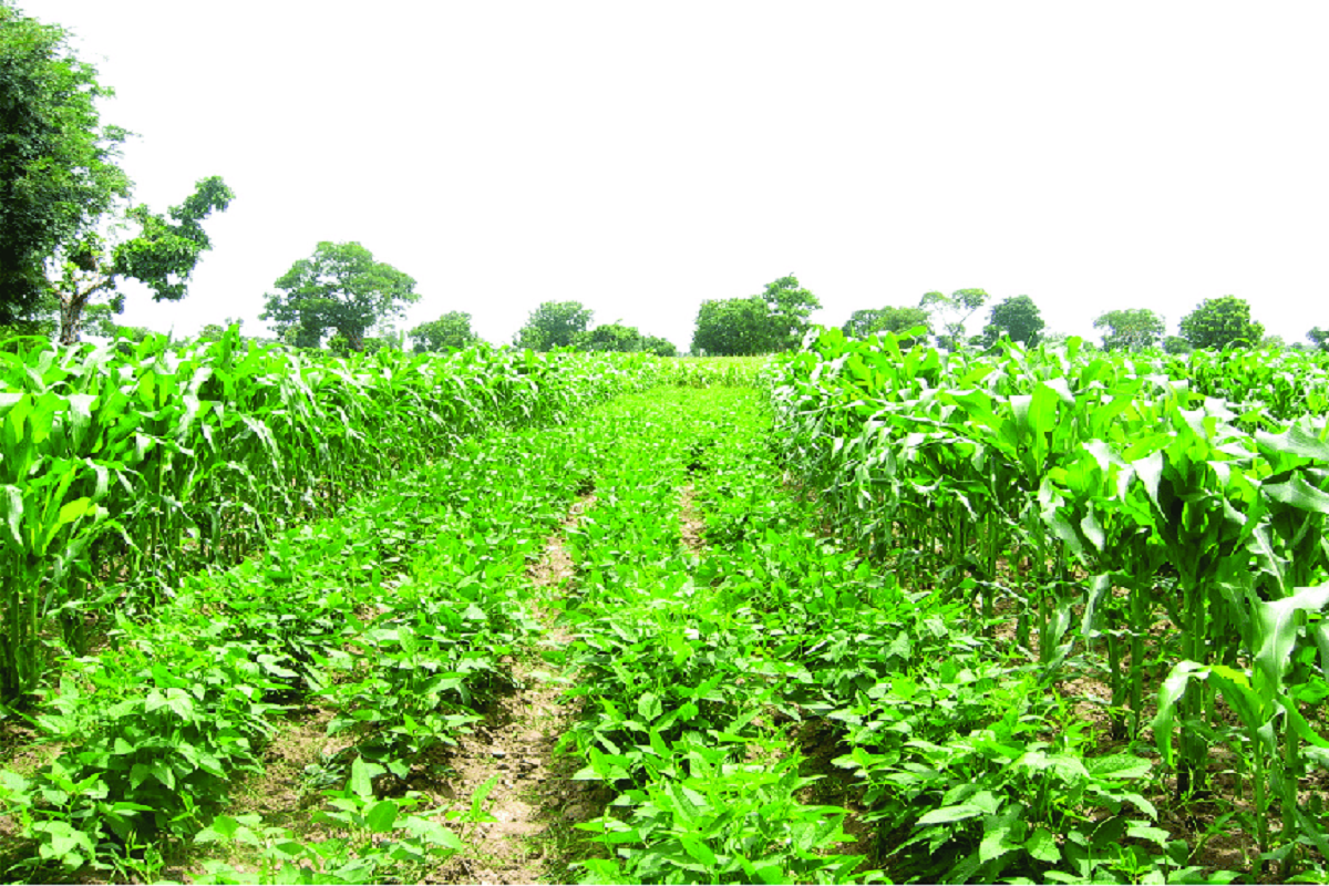 Inter  cropping generates Extra Income