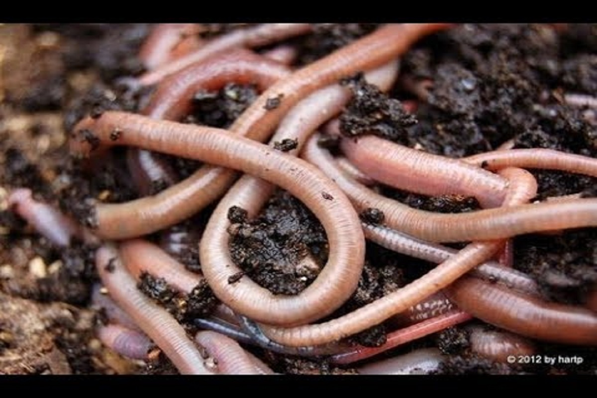 Earthworm, the friend of the Farmer! The gift of nature