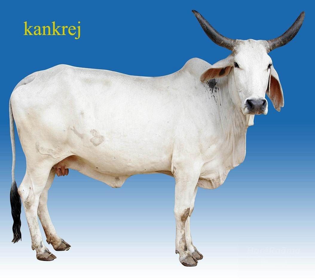 Specialities of Kangrej Cows