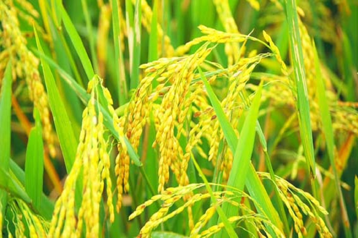 Paddy seeds at subsidized prices