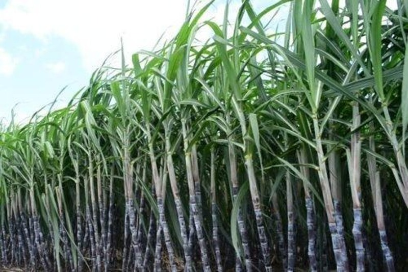 production to improve viability of sugar industry