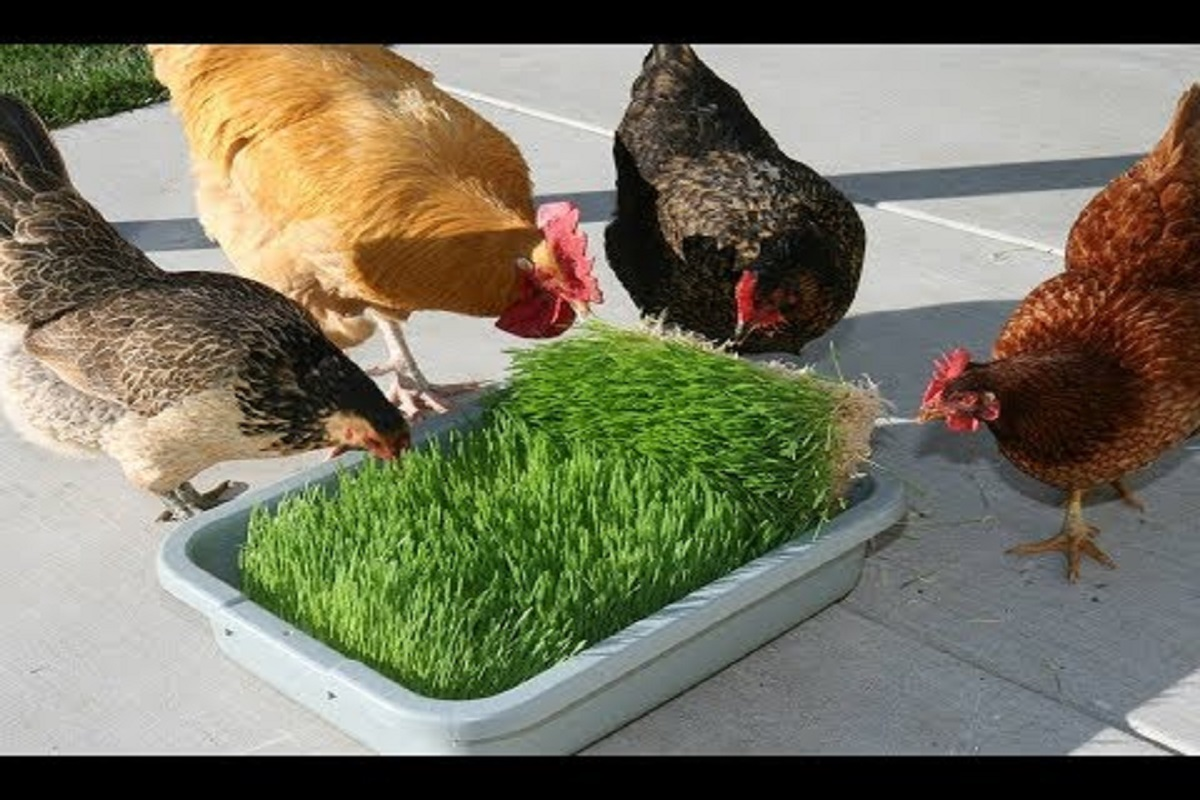 Diseases that affect Country  chickens during the rainy season