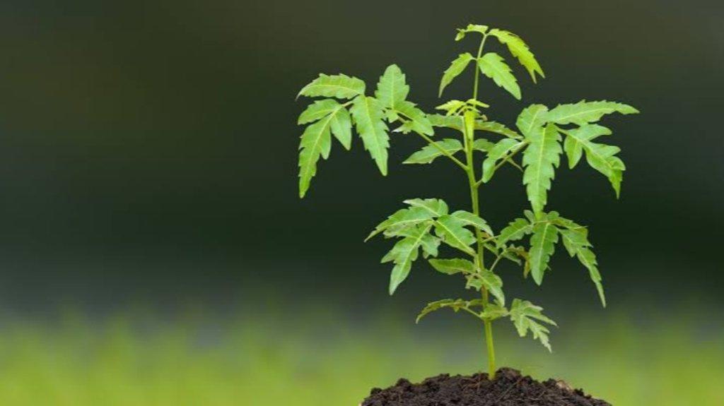 Medicinal benefits of neem