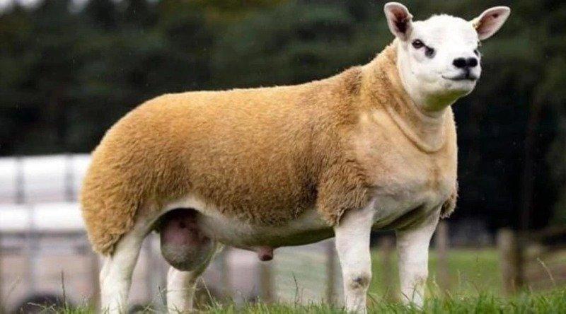 expensive sheep
