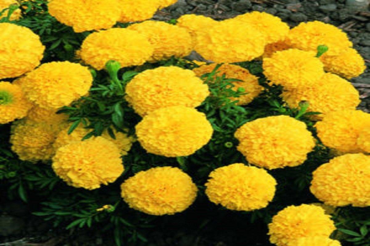 Marigold calves ready for sale