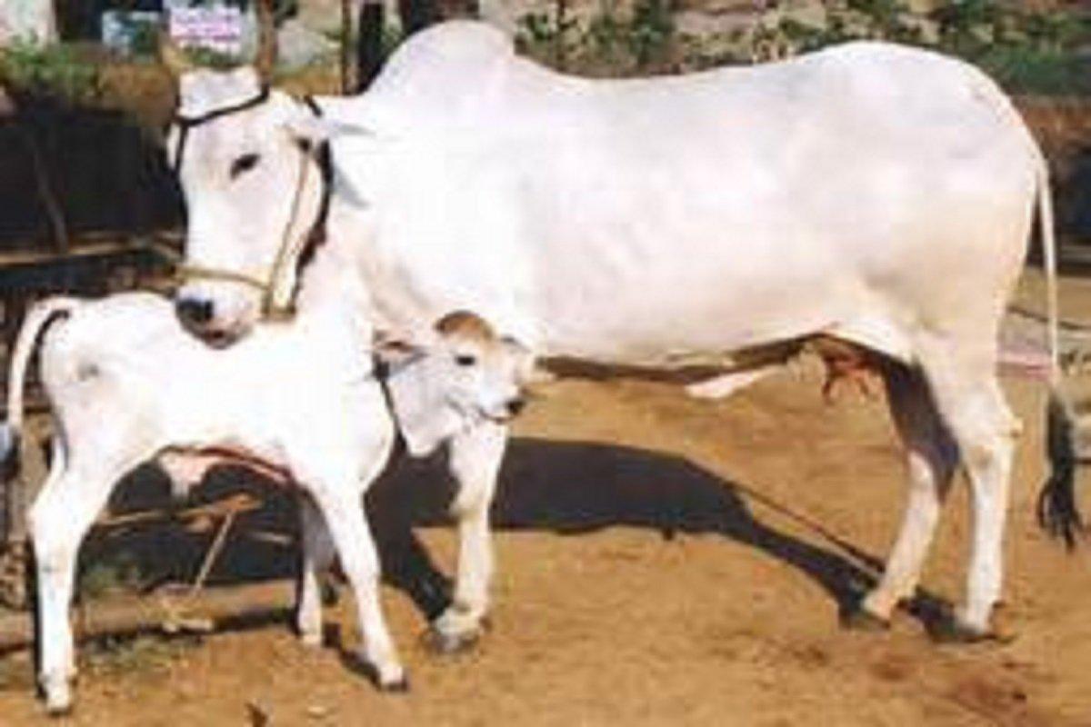 பல சத்துக்களைக் கொண்ட சீம்பால்-  கன்றுகளின் ஆரோக்கியத்திற்கு!