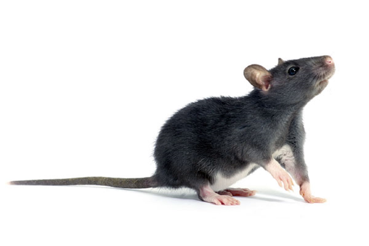 Perfect ways to control rats lurking somewhere in the field!