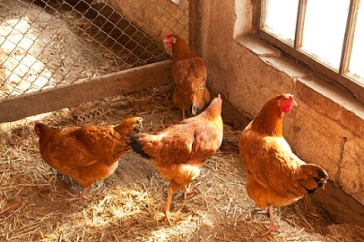 It is very important to test the poultry feed during the rainy season- Advice for poultry farmers!