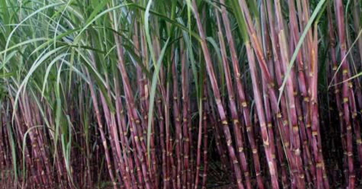 Sugarcan