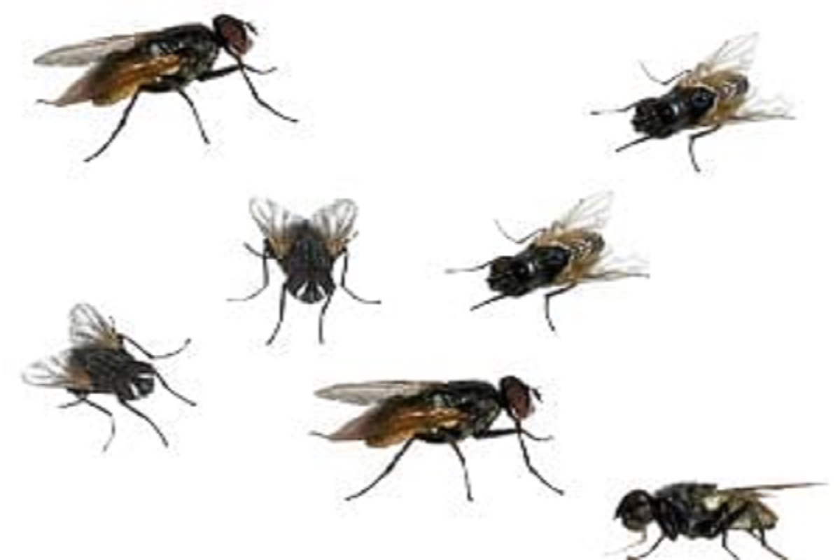 Flies breeding on poultry farms likely to increase
