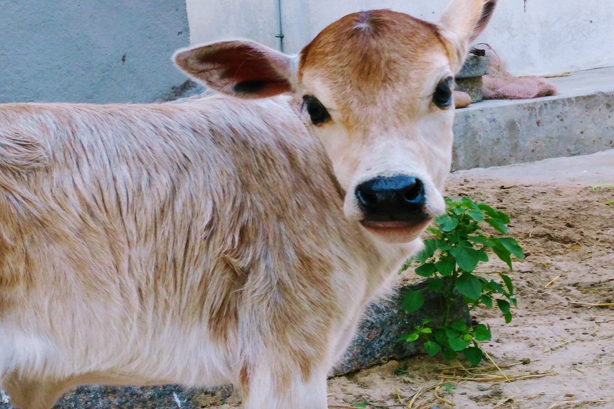 How to care for calves that have lost their mother?