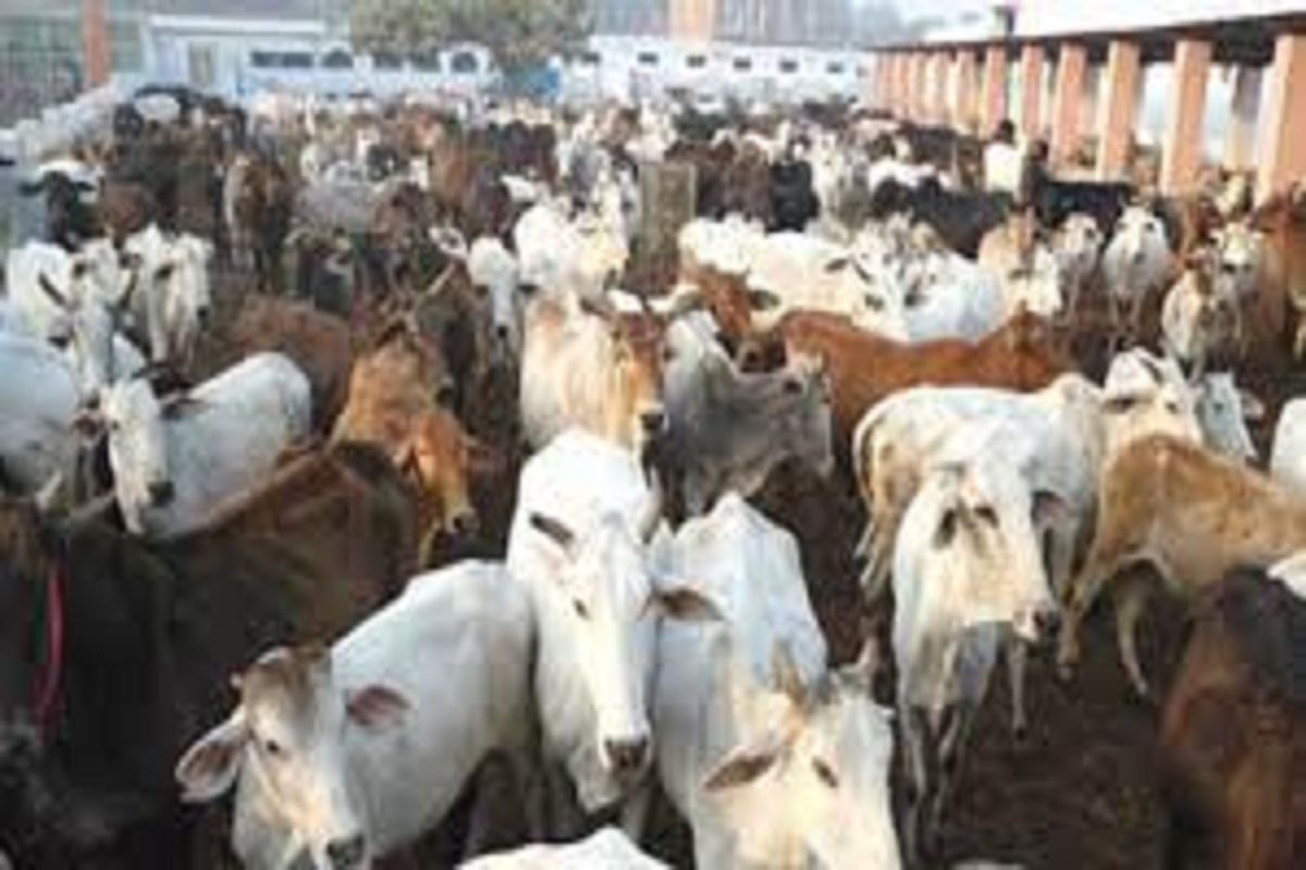 Biggest cattle weekly market in Tirupur!