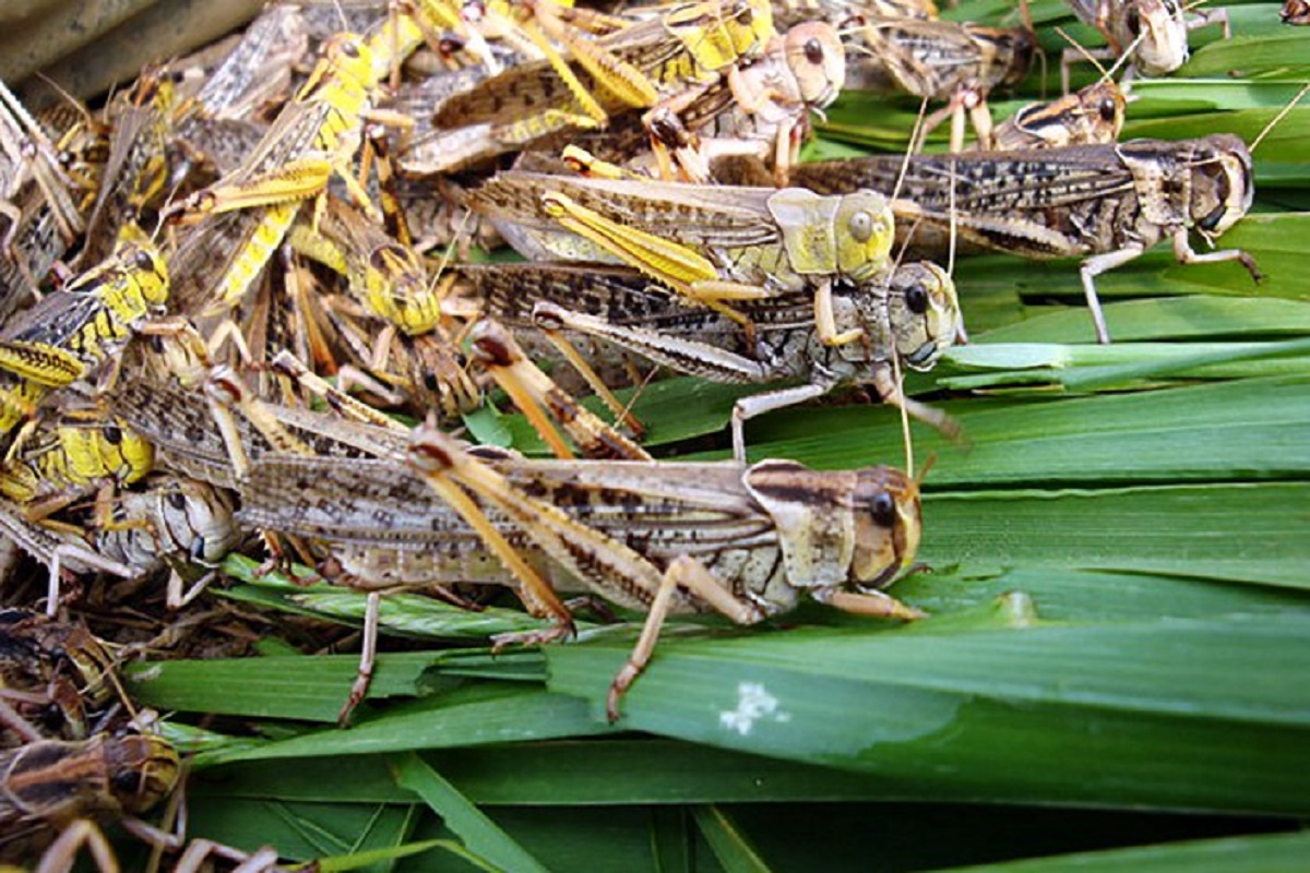 What is the way to protect crops from locust attack? Details inside!