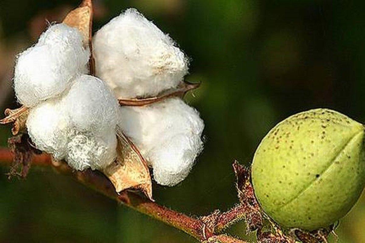 Unproductive Cotton - Farmers Say Bye Bye!