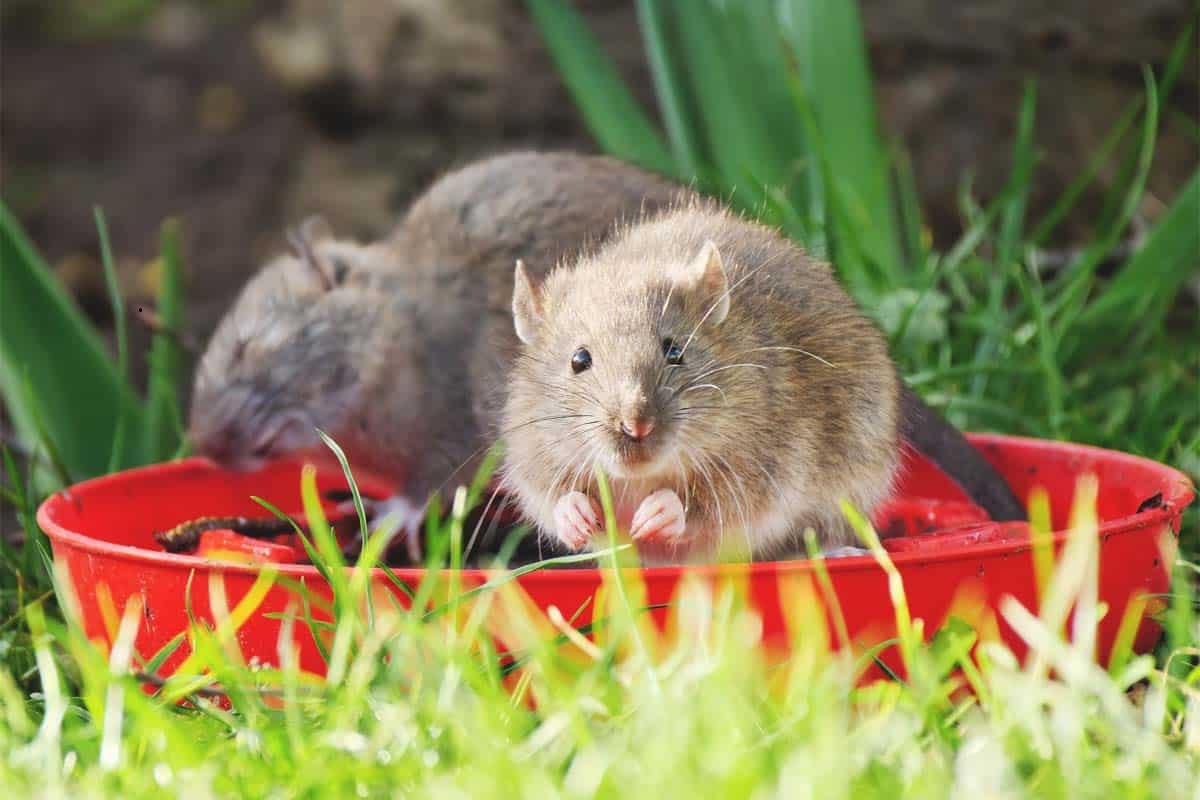 Rats in the fields will increase until December - Agriculture Warning!