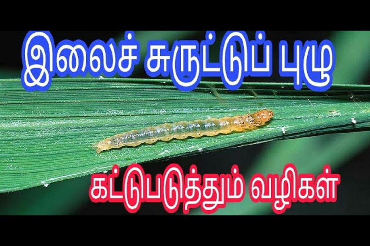 Leaf curl worm infestation in paddy cultivation - easy ways to control!