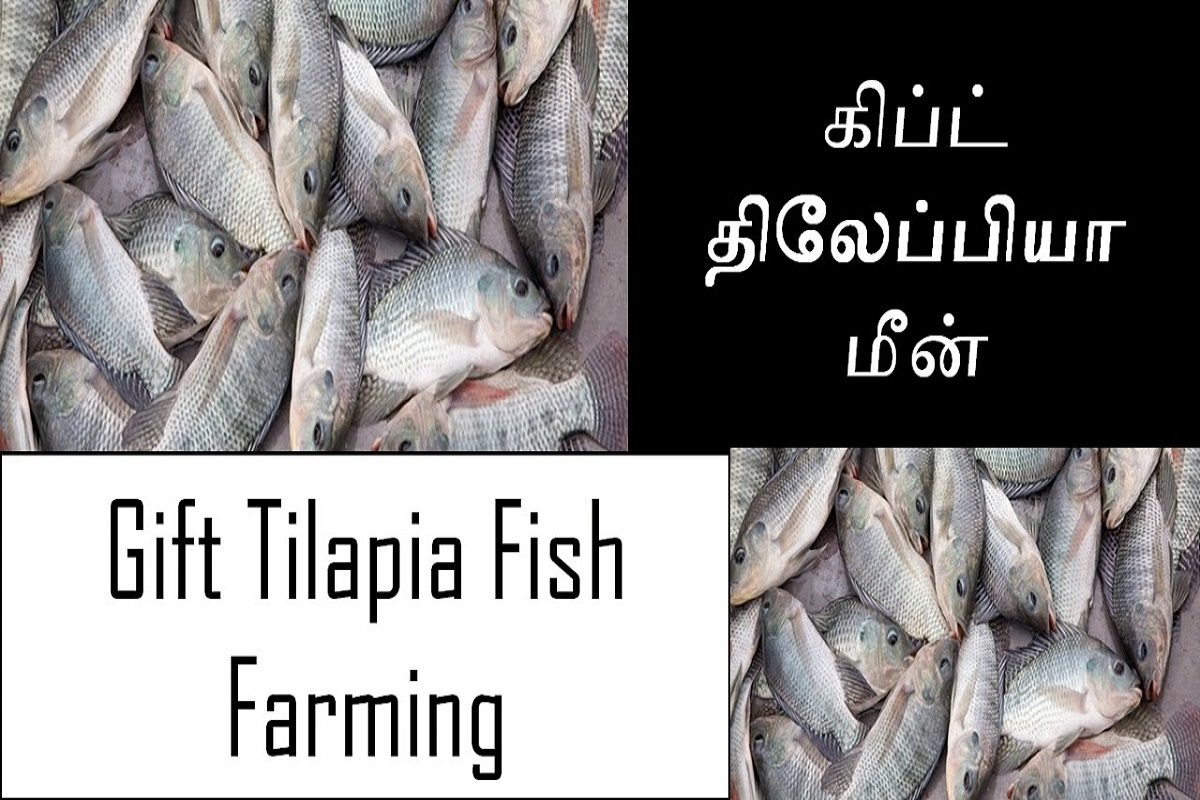 Are you ready to grow immune tilapia fish with government subsidy?