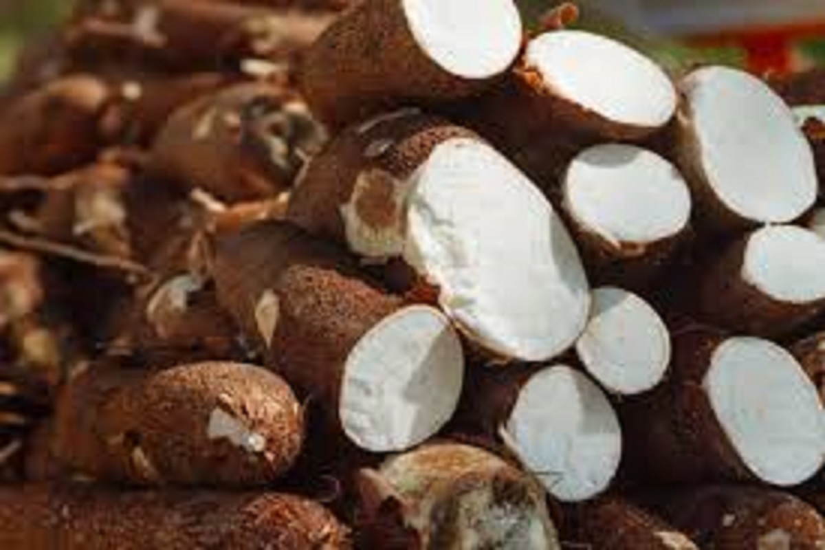 Why shouldn't they eat cassava?
