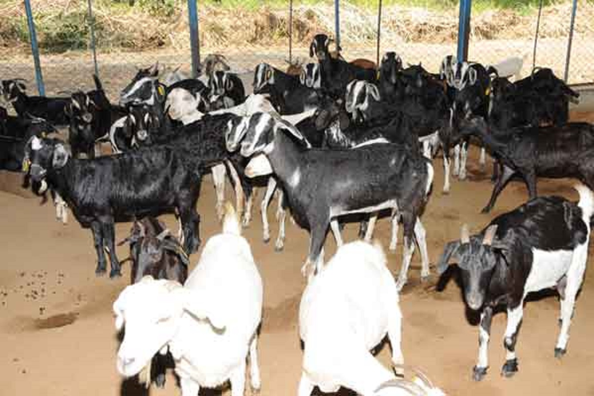 Goat Bank