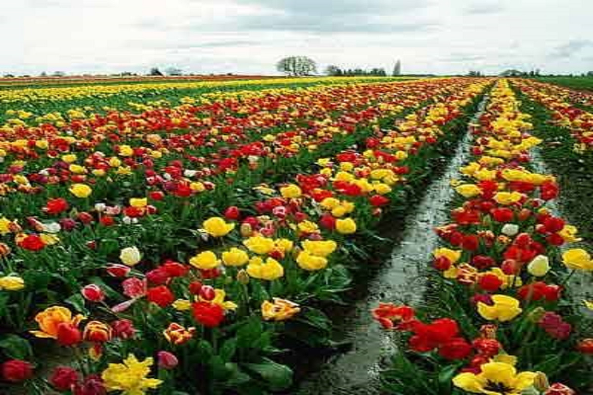 Roja Flowers Farming