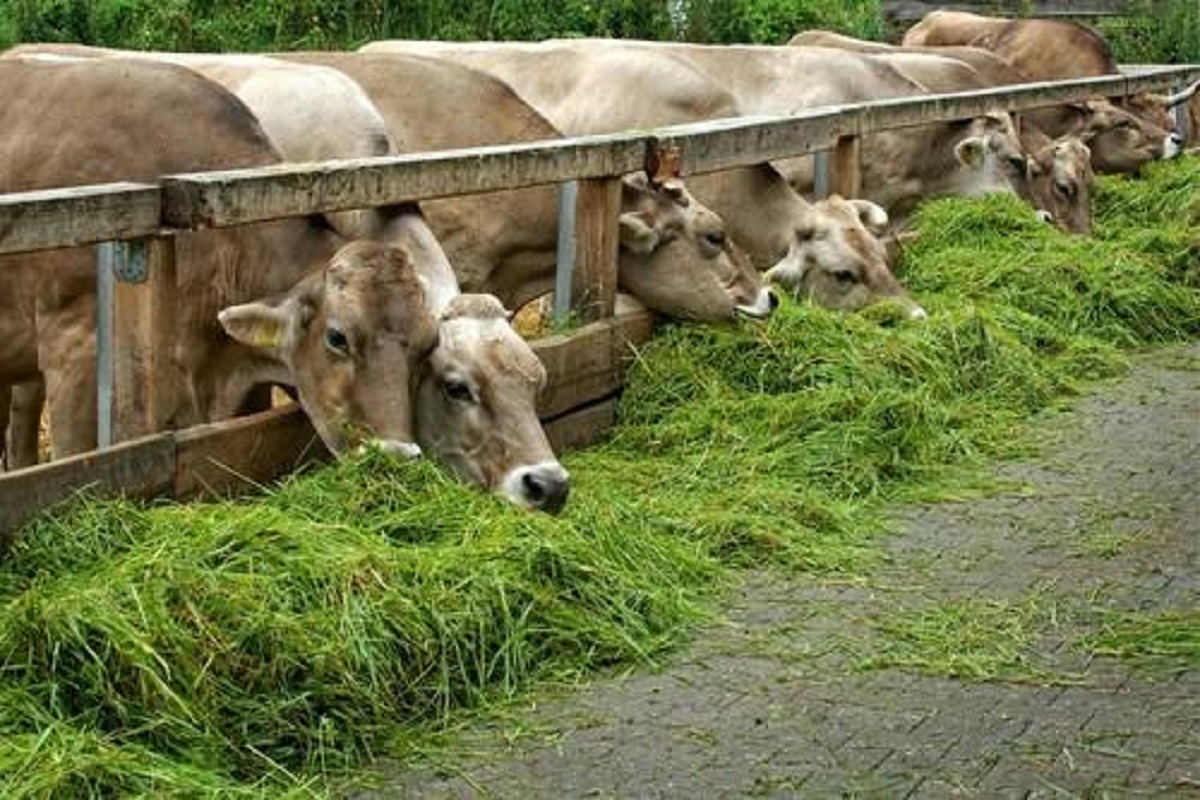 Dry fodder soaked in rain should not be given to livestock- Veterinarian's advice!