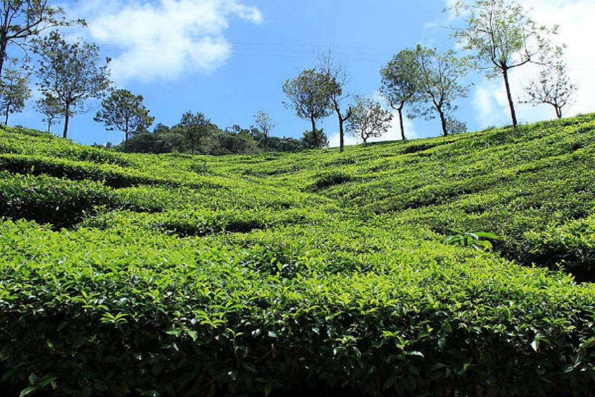 Tips to protect tea plants from frost!