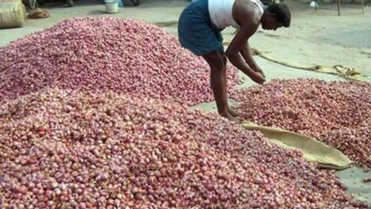 Heavy rains at harvest time - 25 thousand acres of small onions wereted, farmers suffer in tears!