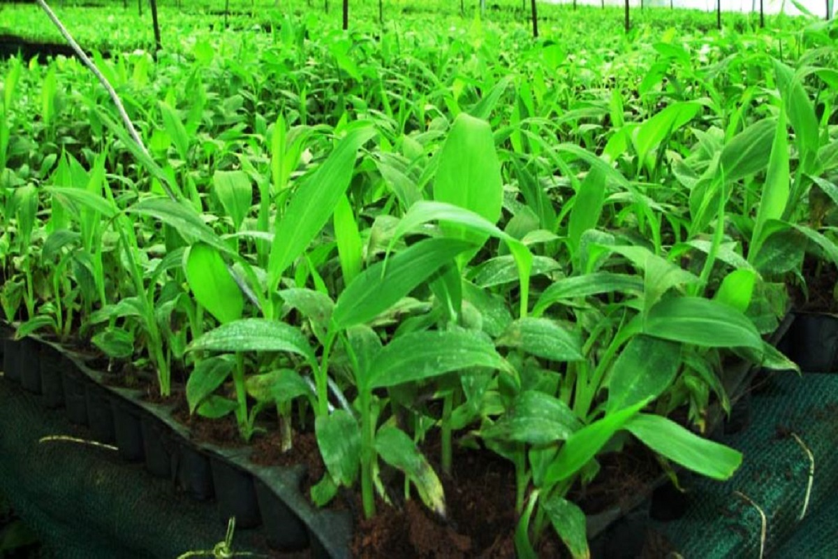 Subsidized sale of tissue banana seedlings - Call to farmers!