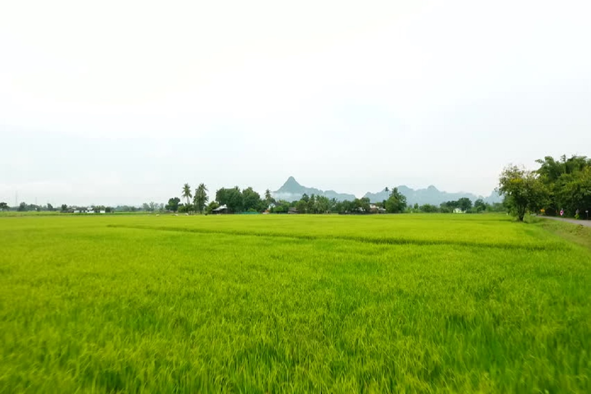 Paddy Crops
