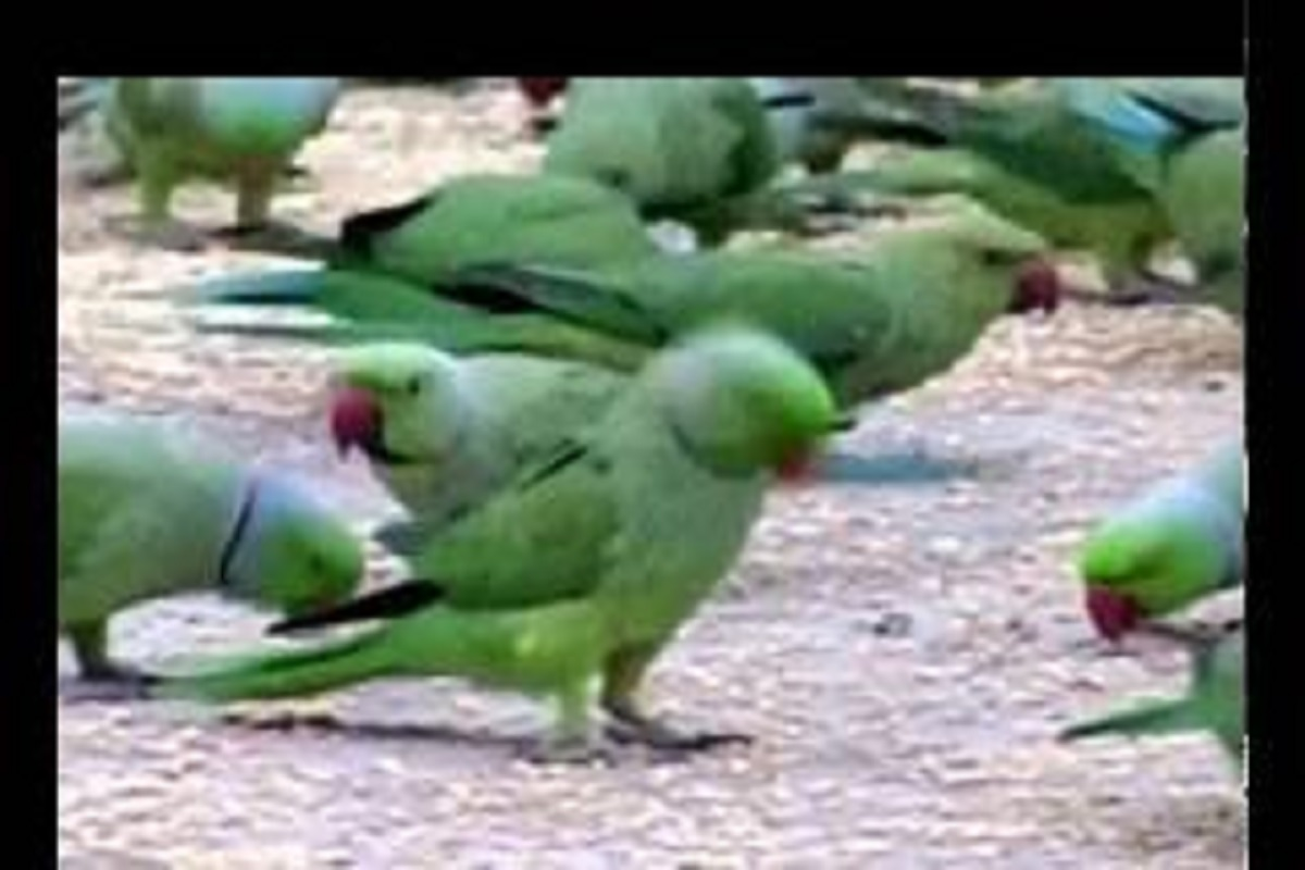 Nylon web to protect crops from parrots - Farmers' new tactic!