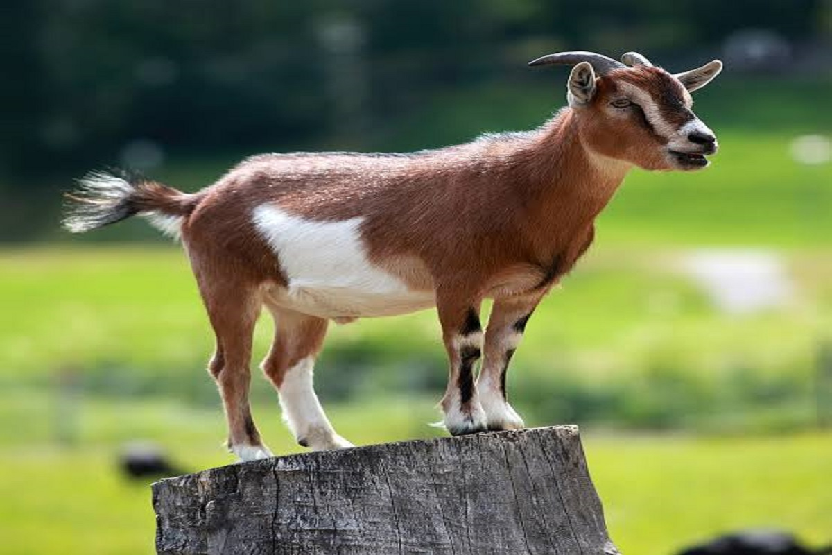 Invest in Goats